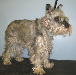 matted dog hair