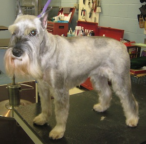 well groomed schnauzer