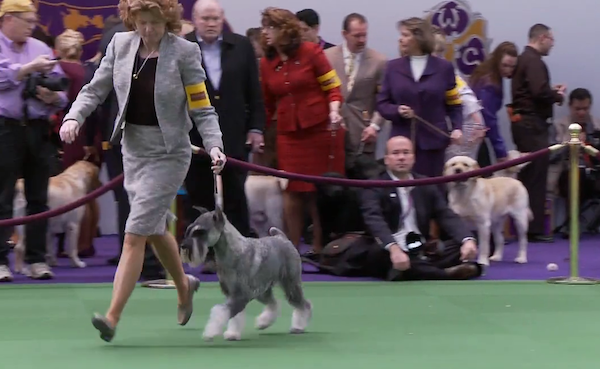 Leslie Shriner Shows Standard Schnauzer Frodo