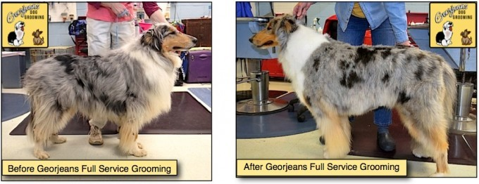 Collie before and after grooming