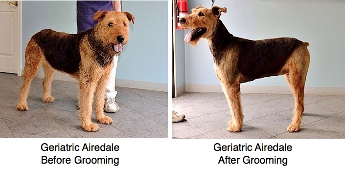 geriatric-airedale-before-after