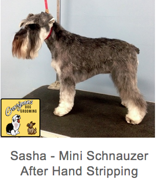 sasha-after-hand-stripping
